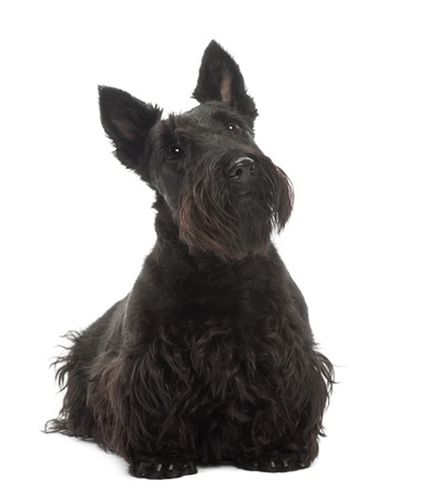 Small Dog Black And White Pointed Ears What Breed
