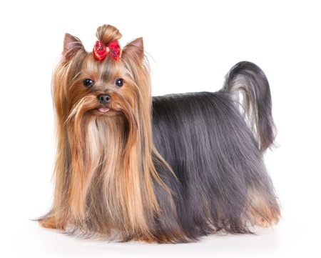 Breed Of Toy Dog With Very Long Straight Hair